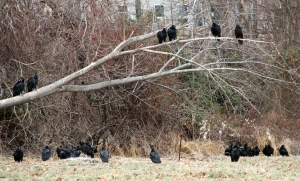 Vultures, mostly Black, at Greystone, NJ, Jan. 1, 2014 (photo by J. Klizas).
