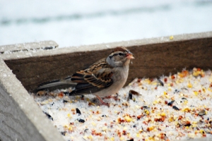 Chipping Sparrow, Franklin Twp., Jan 10, 2014 (photo by Zach Batren).