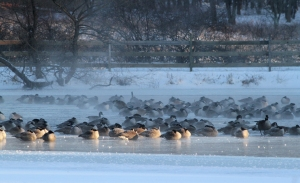 Frosty Canada Geese at Loantaka Brook Reservation, NJ, Jan. 4, 2014 (photo by J. Klizas)