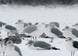 Glaucous Gull, Hillsborough Twp., NJ, Jan. 5, 2014 (photo by Jeff Ellerbusch).