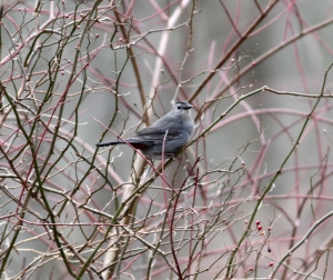Morris County's first Gray Catbird in 2014, Long Valley, NJ, Jan. 19, 2014