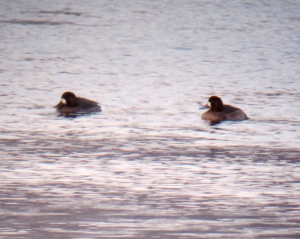 Greater Scaup, Lake Hopatcong, NJ, Jan. 1, 2014 (digiscoped by Jonathan Klizas).