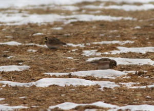Horned Larks, Mt. Olive Twp., NJ, Jan. 25, 2014 (photo by Jonathan Klizas)