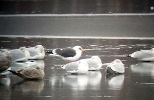 Lesser Black-backed Gull, Lk. Hopatcong, NJ, Jan. 1, 2014 (photo by Jamie Glydon).
