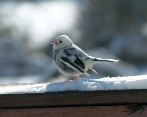 Leucistic Dark-eyed Junco, Gillette, NJ, Jan. 3, 2014 (photo by Joyce and Robert Stapperfenne).