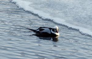 Long-tailed Duck, Bernardsville, NJ, Jan. 7, 2014 (photo by Robert Stapperfenne).
