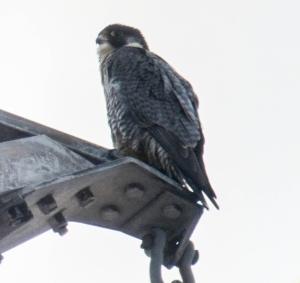 Peregrine Falcon, Troy Meadows, NJ, Jan. 5, 2014 (digiscoped by J. Klizas).