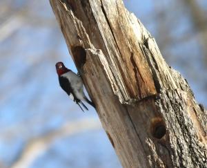 Red-headed Woodpecker, Franklin Twp., NJ, Jan. 24, 2014 (photo by J. Klizas)