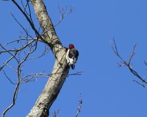 Red-headed Woodpecker, Troy Meadows, NJ, Jan. 4, 2014 (photo by J. Klizas)