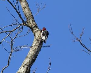 Red-headed Woodpecker, Troy Meadows, NJ, Jan. 4, 2014 (photo by J. Klizas)