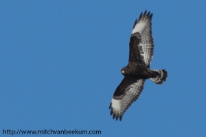 Rough-legged hawk, Great swamp NWR, NJ, Jan. 30, 2014 (photo by Mitch Van Beekum)
