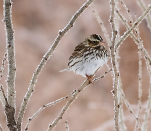 Savannah Sparrow, Troy Meadows, NJ, Jan. 5, 2014 (photo by J. Klizas).