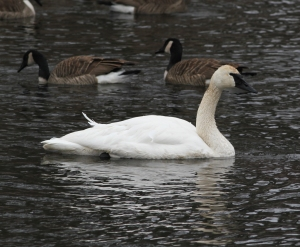 Trumpeter Swan, Indian Lake, Denville, NJ,  Jan. 26, 2014 (photo by J. Klizas)
