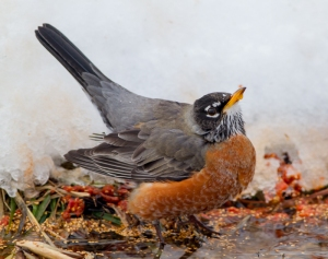 American Robin, Great Swamp NWR, NJ, Feb. 12, 2014 (photo by J. Klizas)