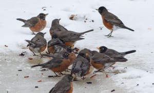 Amrican Robins, Great Swamp NWR, NJ, Feb. 15, 2014 (photo by J. Klizas).