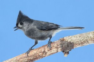 """Black"" Tufted Titmouse, Warren Twp., Feb. 16 2014 (photo by Steve Byland)."