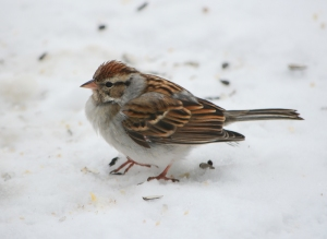 Chipping Sparrow, Franklin Twp., NJ, Feb. 12, 2014 (photo by Zach Batren).