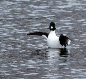 Common Goldeneye, Indian Lake, NJ, Feb. 16, 2014 (photo by Jonathan Klizas).