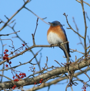 Eastern Bluebird, Great Swamp NWR, NJ, Jan. 26, 2014 (photo by Jonathan Klizas)