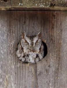 Eastern Screech-Owl, Long Hill Twp., Feb. 12, 2014 (photo by Jonathan Klizas)