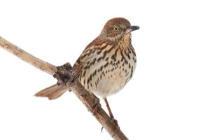 Brown Thrasher, Warren Twp., NJ, Feb. 15, 2014 (photo by Steve Byland).