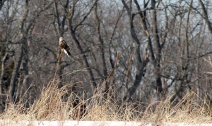 Rough-legged Hawk, Duke Farms, NJ, Feb. 28, 2014 (photo by Jeff Ellerbusch).
