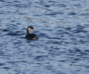 Red-necked Grebe, Mendham Twp., NJ, Feb. 22, 2014 (heavily cropped photo by Jonathan Klizas).