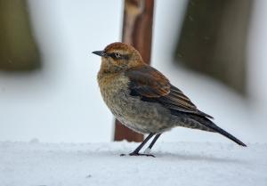 Rusty Blackbird, Franklin Twp., NJ, Feb. 13, 2014 (photo by Zach Batren).