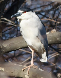 Black-crowned Night-Heron, Parsipanny, NJ, Mar. 31, 2014 (photo by Jonathan Klizas).