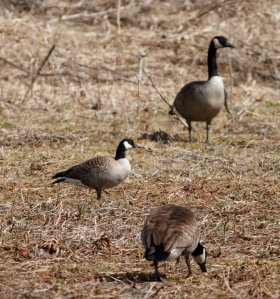 Cackling Goose, Branchburg Twp., NJ, Mar. 27, 2014 (photo by J. Klizas).