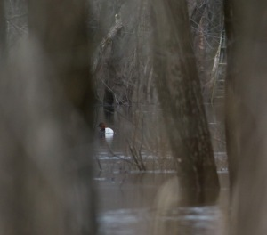 Yes, there is a Canvasback in there, Lincoln Park, NJ, Mar. 23, 2014 (photo by J. Klizas)