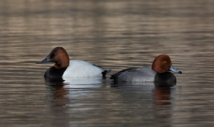 Canvasback and Redhead, Loantaka Brook Reservation, Mar. 10, 2014, (photo by Jim Gilbert)