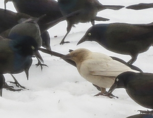 Common and not-so-common Grackles, Lincoln Park, NJ, Mar. 2, 2014 (photo by Jill Homcy).