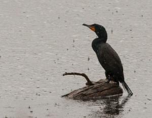 Double-crested Cormorant and rain, Boonton Reservoir, NJ, Mar. 12, 2014 (photo by J. Klizas)