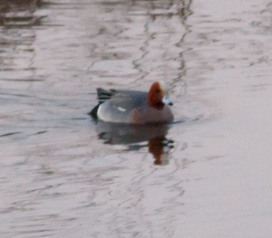 Eurasian Wigeon, pre-dawn at Finderne Wetlands, NJ, Mar. 21, 2014 (photo attempt by Jonathan Klizas)
