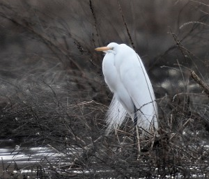 Great Egret, Hanover Twp., NJ, Mar. 23, 2014 (photo by Chuck Hantis)