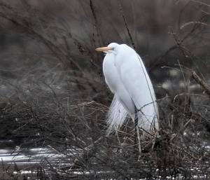 Great Egret, Hanover Twp., NJ, Mar. 23, 2014 (photo by Chuck Hantis)