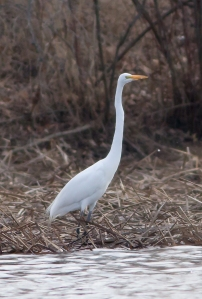 Great Egret, Hanover Twp., NJ, Mar. 22, 2014 (photo by Jonathan Klizas).