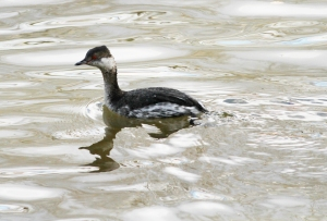 Horned Grebe, Hillsborough Twp., Mar. 15, 2014 (photo by J.Ellerbusch).