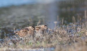 Wilson's Snipe, Rockaway Twp., NJ, Mar. 26, 2014 (photo by Dave Blinder)