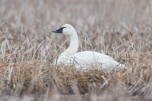 Tundra Swan at Great Swamp NWR, NJ, Mar. 28, 2014 (photo by Jim Gilbert).