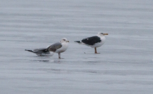Lesser Black-backed Gull, Budd Lake, NJ, Mar. 19, 2014 (ID photo by Jonathan Klizas).
