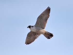 Peregrine Falcon, Hanover Twp., NJ, Mar. 16, 2014 (photo by Chuck Hantis).