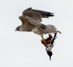 Peregrine Falcon, Hanover Twp., NJ, Mar. 17, 2014 (photo by Chuck Hantis).