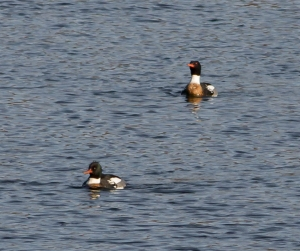 Red-breasted Mergansers, Mendham Twp., NJ, Mar. 8, 2014 (ID photo by Jonathan Klizas)
