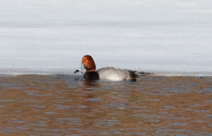 Redhead, Harding Twp., Mar. 15, 2014 (photo by J. Klizas)
