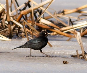 Rusty Blackbird, Great Swamp NWR, NJ, Mar. 16, 2014 (photo by J. Klizas)