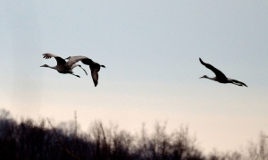 Sandhill Cranes, Great Swamp NWR, NJ, Mar. 16, 2014 (photo by Jason Denesevich).