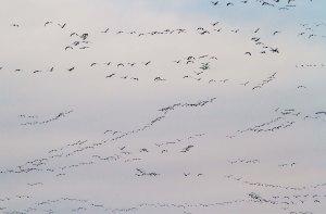 Snow Geese, Long Valley, NJ, Mar. 22, 2014 (photo by J. Klizas)