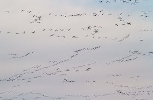 Snow Geese, Long Valley, NJ, Mar. 22, 2014 (photo by J. Klizas)